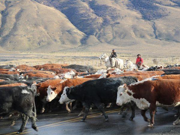 Arreo Vacas