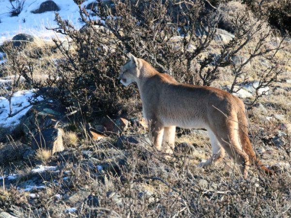 Puma en Torres del Paine