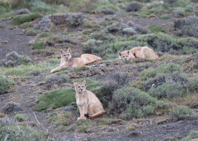 """Safari en Torres del Paine """"Buscando al Puma"""""""